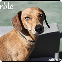 Adopt A Pet :: Marble - Rockwall, TX