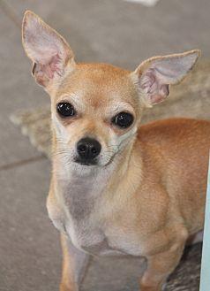 Chihuahua Mix Dog for adoption in Lodi, California - Piper