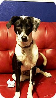 Labrador Retriever/Pointer Mix Dog for adoption in Independence, Missouri - Gina