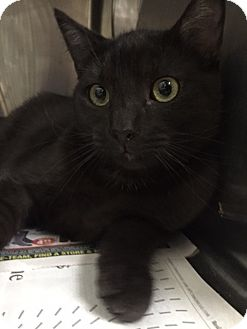 Domestic Shorthair Kitten for adoption in Chico, California - Harvest