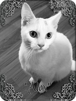 Domestic Shorthair Kitten for adoption in Seaford, Delaware - Alex