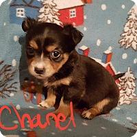Adopt A Pet :: Chanel - Sussex, NJ