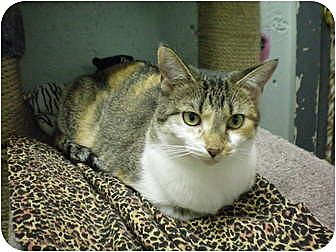 Domestic Shorthair Cat for adoption in House Springs, Missouri - Chelsea