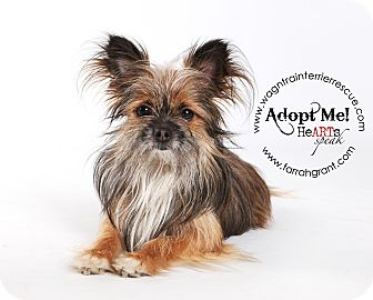 Yorkie, Yorkshire Terrier/Pomeranian Mix Dog for adoption in Omaha, Nebraska - Henry