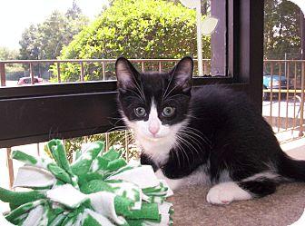 Domestic Mediumhair Kitten for adoption in Pineville, North Carolina - Coco