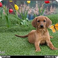 Adopt A Pet :: Foxy - Franklin, VA