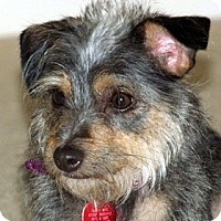 Adopt A Pet :: Scruffy - Kingwood, TX