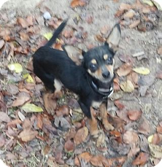 Chihuahua Dog for adoption in Houston, Texas - CECIL