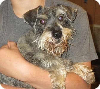 Schnauzer (Miniature) Dog for adoption in Rochester, New York - Wilbur