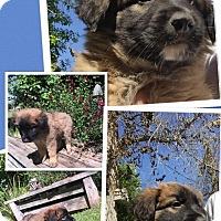 Adopt A Pet :: Santigo - Scottsdale, AZ