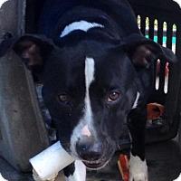 Adopt A Pet :: PHOEBE - Coudersport, PA