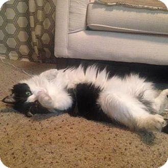 Domestic Mediumhair Cat for adoption in Tempe, Arizona - Tayler