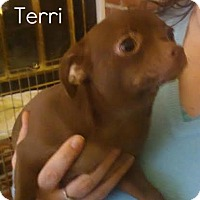 Adopt A Pet :: Terri - House Springs, MO