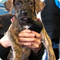 Adopt A Pet :: Mork - Mt. Prospect, IL