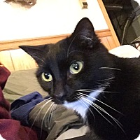 Domestic Shorthair Cat for adoption in Plattekill, New York - Boots