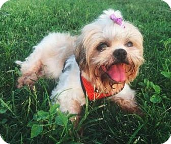 Shih Tzu Dog for adoption in Manhattan, New York - Mabel