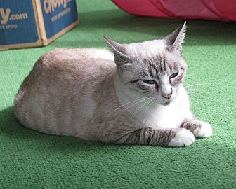Siamese Cat for adoption in Clearwater, Florida - Luna
