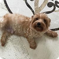 Adopt A Pet :: Honey - Naples, FL
