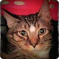Domestic Shorthair Cat for adoption in Pueblo West, Colorado - Dennis