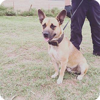 Shepherd (Unknown Type)/American Pit Bull Terrier Mix Dog for adoption in oklahoma city, Oklahoma - Yoda
