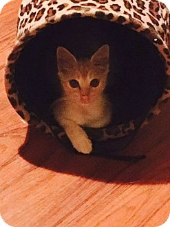 Domestic Longhair Kitten for adoption in Marysville, California - Boogers