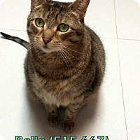 American Shorthair Cat for adoption in Tiffin, Ohio - Belle