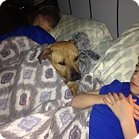 Rhodesian Ridgeback/Labrador Retriever Mix Dog for adoption in Clarksville, Tennessee - Katie **SPONSORED**