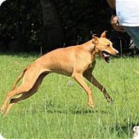 Whippet Mix Dog for adoption in Kailua-Kona, Hawaii - Cersei