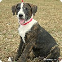 Mastiff/Labrador Retriever Mix Puppy for adoption in parissipany, New Jersey - Oddie