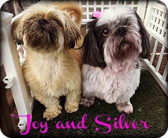 Shih Tzu Dog for adoption in Phoenix, Arizona - SILVER