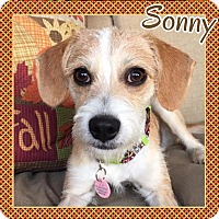 Adopt A Pet :: Sonny in Amarillo - Austin, TX