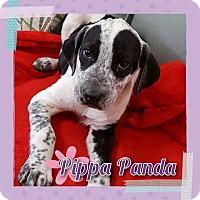 Adopt A Pet :: Pippa Panda - Houston, TX