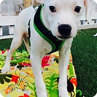 Adopt A Pet :: Perry (BH) - Santa Ana, CA
