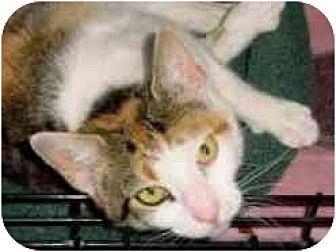 Calico Cat for adoption in Pasadena, California - Calypso