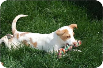 Jack Russell Terrier/Beagle Mix Puppy for adoption in Hainesville, Illinois - Ginger