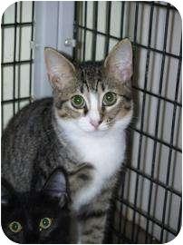 Domestic Shorthair Kitten for adoption in Brooksville, Florida - Mindy