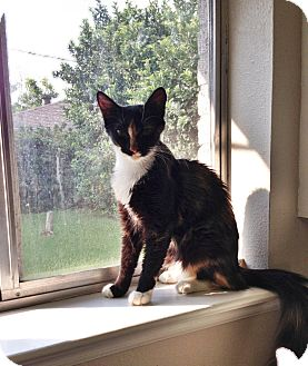 Calico Cat for adoption in Harvey, Louisiana - Chanel