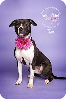 Pit Bull Terrier/Boxer Mix Dog for adoption in Medford, New Jersey - Taylor