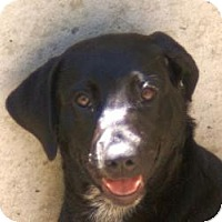 Labrador Retriever Mix Dog for adoption in Oakland, Arkansas - Ebony