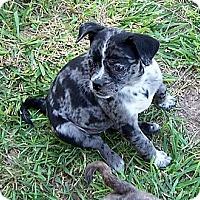 Adopt A Pet :: Rosie - San Angelo, TX