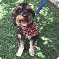 Adopt A Pet :: Sylvester - Redondo Beach, CA