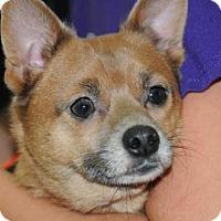 Adopt A Pet :: Bella and Rascal ShiPom - Westerly, RI