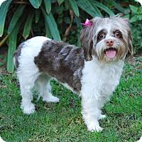 Adopt A Pet :: LATTE - Los Angeles, CA