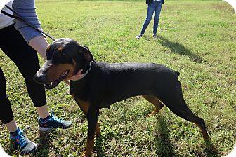Doberman Pinscher Mix Dog for adoption in McAllen, Texas - Sasha