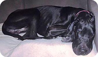Great Dane Dog for adoption in Lakewood, Colorado - Elvis
