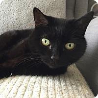 Adopt A Pet :: Muse - Naperville, IL
