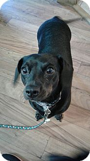 Dachshund Mix Dog for adoption in Ardmore, Oklahoma - Sophie