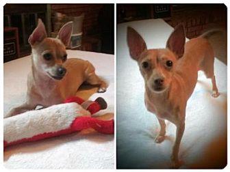 Chihuahua/Dachshund Mix Dog for adoption in Tunica, Mississippi - Gigi & Addie Bonded Pair Chihuahua mix