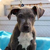 Adopt A Pet :: Silver Bullet - Los Angeles, CA
