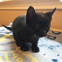 Domestic Shorthair Kitten for adoption in Austin, Texas - Wednesday